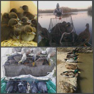Підсадні качки (НЕ манки, живі)